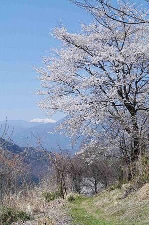 Sakuratoge007_2