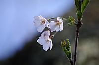 Hazakura005